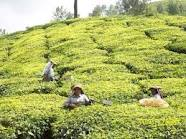tea plantaion valparai
